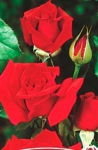 poza Trandafiri de gradina  soiul Aida, culoare rosie