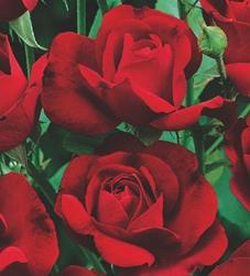 poza Trandafiri de gradina `Nina Weibull` butas format cu radacini in ghiveci de 3,5 litri
