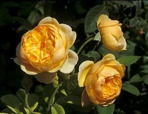 poza Trandafiri englezesti de gradina semiurcatori, cu radacina ambalata , soiul Graham Thomas