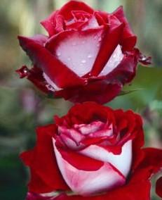 poza Trandafiri de gradina `Osiria`, butasi cu radacina ambalata