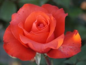 poza Trandafir de gradina cu radacina ambalata 'Holsteinperle'