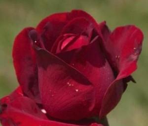 poza Trandafiri de gradina Ingrid Bergman tufe cu radacini in ghivece de 3 litri