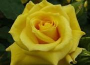 Poza andafiri de gradina Polyantha la ghiveci cu radacina parfumati Friesia