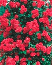 Poza Trandafiri agatatori cataratori de gradina cu radacina Paul's Scarlet
