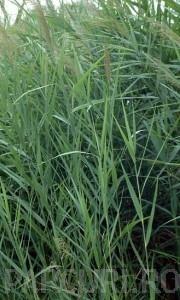 poza Ierburi graminee Phragmites australis (trestie)