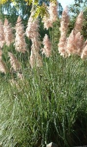 poza Ierburi graminee Cortaderia selloana  'Pink Feather' (iarba de pampas) h=1.2 m