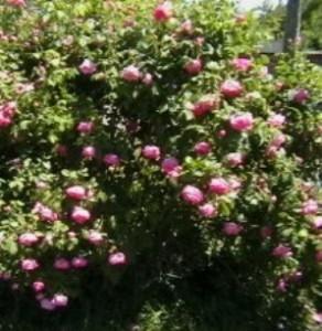 Poza Trandafiri pentru dulceata cu radacina