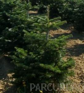 Poza Arbori rasinosi Abies nordmaniana
