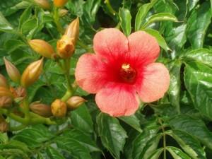 poza Plante agatatoare Campsis Madame Gallen la ghiveci 5-7 litri, h=100-125 cm