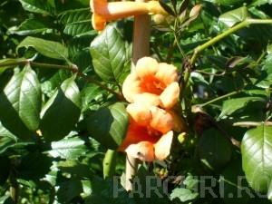 Poza Plante cataratoare Campsis grandiflora Yellow Trumpet la ghiveci