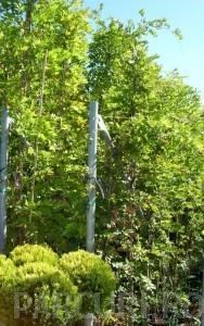 poza Plante urcatoare Wisteria sinensis (glicina) ghiveci 15-18 litri, h=250-300cm