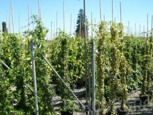 Poza  Plante cataratoare Hedera hibernica