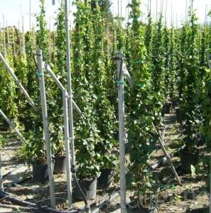 poza Plante cataratoare Hedera hibernica , h=175-200 cm