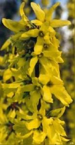 poza Arbusti de gradina FORSYTHIA COMPACTA ghiveci 3-4 litri, h=60-80cm