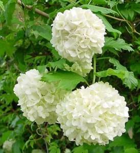 poza Arbusti VIBURNUM OPULUS ROSEUM h=40-60 cm, ghiveci 5 litri