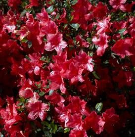 Poza Arbusti cu flori Azalea sp.