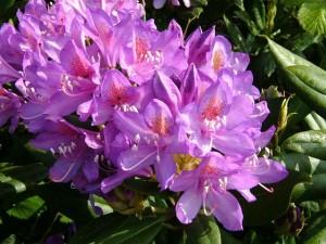Poza  Arbusti gradina cu flori Rododendron sp.