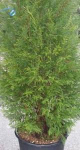 poza Gard viu rasinoase Cupressocyparis leylandii Pyramidalis 80-100 cm clt 5/7 l
