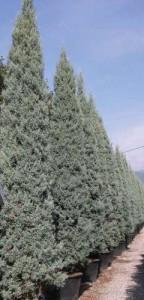 poza Gard viu rasinoase Cupressus arizonica Fastigiata clt 5/7 l.