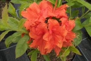 poza Arbusti cu flori AZALEA MOLLIS la ghiveci de 15 litri planta cu diam de 80 cm