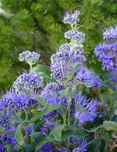 poza Arbusti foiosi CARYOPTERIS x CLANDONENSIS Heavenly Blue ghiveci 5 litri, h=60-80 cm