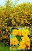 poza Arbusti cu flori KERRIA JAPONICA PLENIFLORA ghiveci 3-4 litri, h=60-80 cm