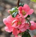 Poza Arbusti cu flori Chaenomeles xsuperba Pink Lady