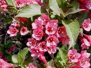 Poza  Arbusti cu flori Weigela `Bristol Ruby`