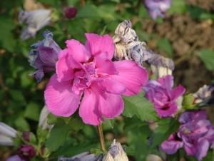 Poza  Hybiscus cu flori duble `Peoniaflora`