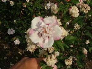 Poza : Hybiscus cu flori duble