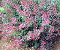 poza Arbusti foiosi cu frunze rosii 'BERBERIS THUNBERGII ROSE GLOW' la ghiveci de 3 litri. h= 30-35 cm