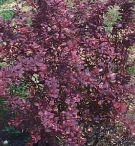 Poza Arbusti foiosi cu frunze rosii Berberis thunbergii Rose Glow