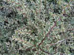 Poza Arbust tarator de gradina Cotoneaster horizontalis variegata