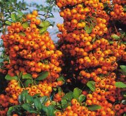 poza Arbusti de gradina 'PYRACANTHA' la ghiveci de 5 litri, h=60-80cm