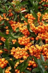 Poza Arbusti gradina Pyracantha Orange Glow