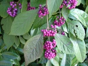 poza Arbusti de gradina cu boabe violet CALICARPA BODINIERI P21
