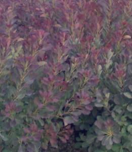 poza Arbusti cu frunze rosii 'COTINUS COGGYRIA Rubrifolis' la ghiveci 5 litri, h=40-60 cm.
