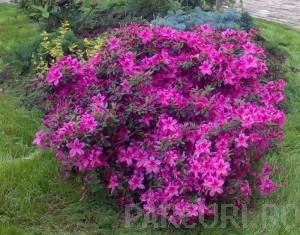 poza Arbusti cu flori AZALEA JAPONICA VIOLET ghiveci de 7  litri, planta cu diam de 40cm
