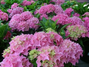 poza Arbusti gradina Hortensia/ HYDRANGEA MACROPHYLLA Pink  h=40 cm , ghiveci 5 litri