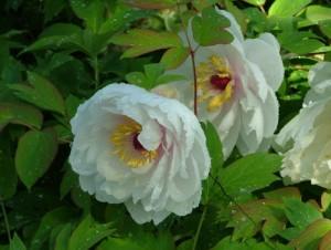 Poza  Arbusti de gradina Paeonia suffruticosa (bujor)