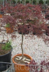 Poza  Acer palmatum `Dissectum Atropurpureum `