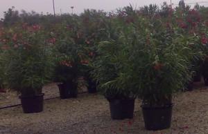 poza Plante de balcon NERIUM OLEANDER (leandru rosu ) ghiveci 30 litri h=125-150 cm