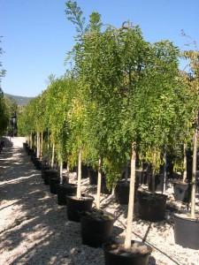 poza Arbori foiosi SOPHORA JAPONICA PENDULA /SALCAM JAPONEZ 14/16 circumf trunchi (70 litri)