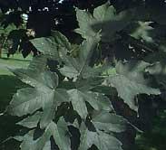 poza Arbori foiosi ACER PSEUDOPLATANUS / Paltin de munte 10/12 circumf trunchi (50 litri)