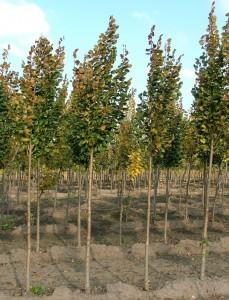 poza Arbori foiosi TILIA PLATYPHYLLOS / TEI 12/14 circumf. trunchi (70 litri)
