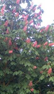 poza Arbori foiosi AESCULUS X CARNEA BRIOTII 10/12 circumf. trunchi (50 litri)