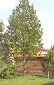 poza Arbori foiosi PLATANUS ACERIFOLIA 16/18 circumf trunchi (110 litri)