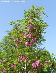 poza Arbore parfumat ROBINIA PSEUDOACACIA CASQUE ROUGE /SALCAM ROSU 12/14AF