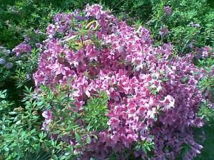 poza Arbusti cu flori si frunze persistente AZALEA JAPONICA ghiveci de 7 litri, planta cu diam de 40cm