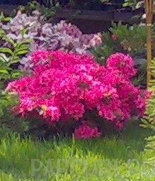Poza Arbusti cu flori Azalea japonica Amoena (violet-purpuriu)